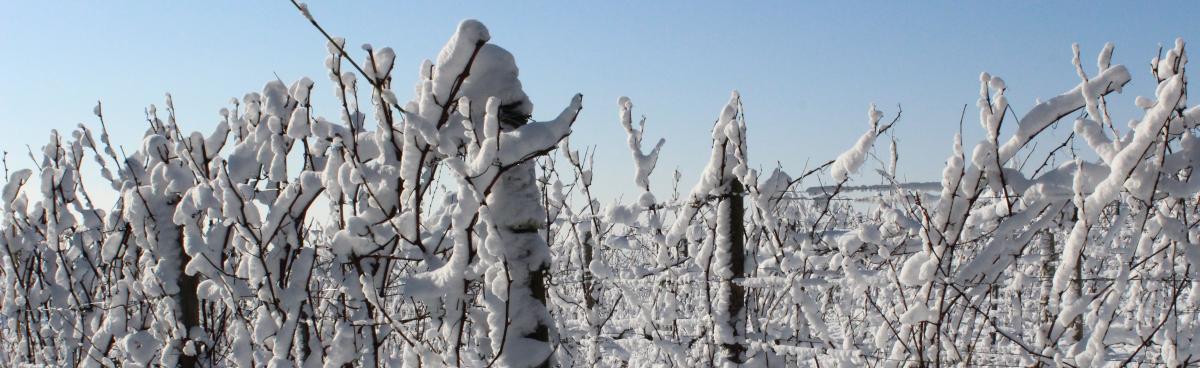 frost_vigne