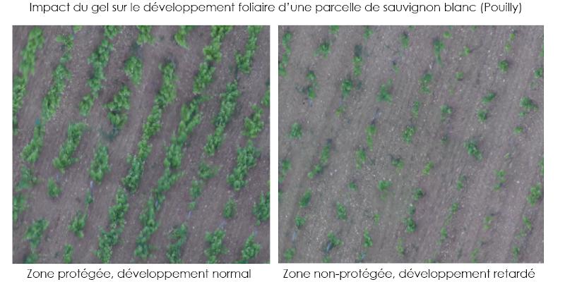 impact du gel sur le développement foliaire